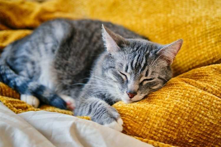 chat-qui-ronronne